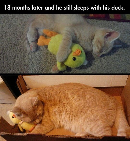 Cat - 18 months later and he still sleeps with his duck.