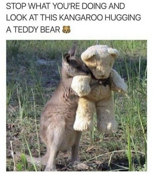 Adaptation - STOP WHAT YOU'RE DOING AND LOOK AT THIS KANGAROO HUGGING ΑTEDDY BEAR