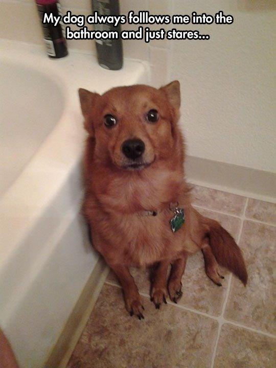 Mammal - Mydog always follows me into the bathroom and fust stares..
