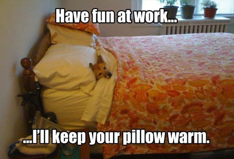 picture of dog cuddled up in bed to keep your pillow warm while you're at work