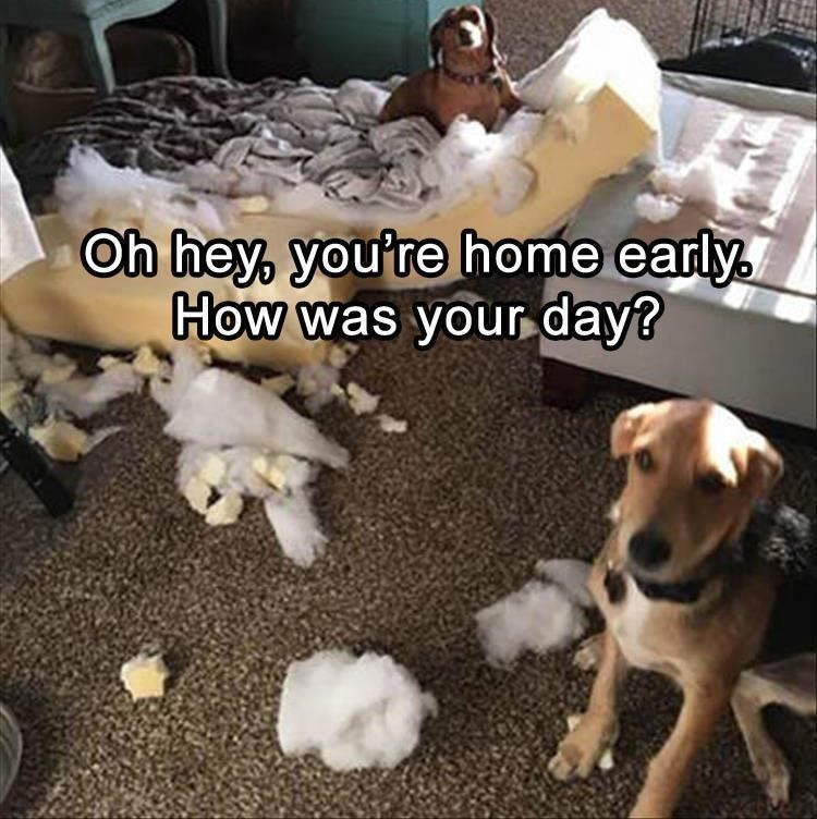 "picture of two dogs looking guilty next to destroyed mattress captioned with ""you're home early"""