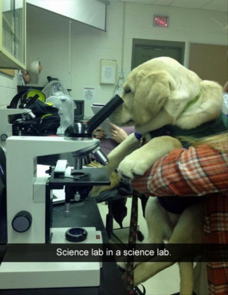 "picture of Labrador looking through microscope captioned ""science lab"""