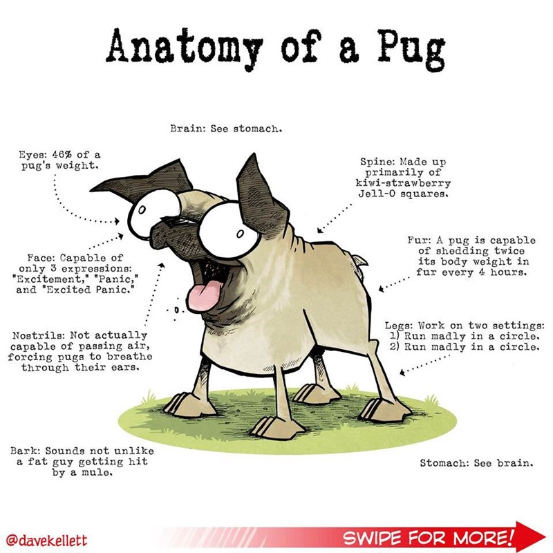 "Cartoon - Anatomy of a Pug Brain: See stomach. Eyes: 46% of a pug's weight. Spine: Made up primarily of kiwi-strawberry Jell-0 squares 0 Fur: A pug is capable of shedding twice its body weight in fur every 4 hours Face: Capable of only 3 expressions ""Excitement,"" ""Panic,"" and ""Excited Panic."" Legs: Work on two settings: 1 Run madly in a circle. 2) Run madly in a circle Nostrils: Not actually capable of passing air, forcing pugs to breathe through their ears. Bark: Sounds not unlike Stomach: See"
