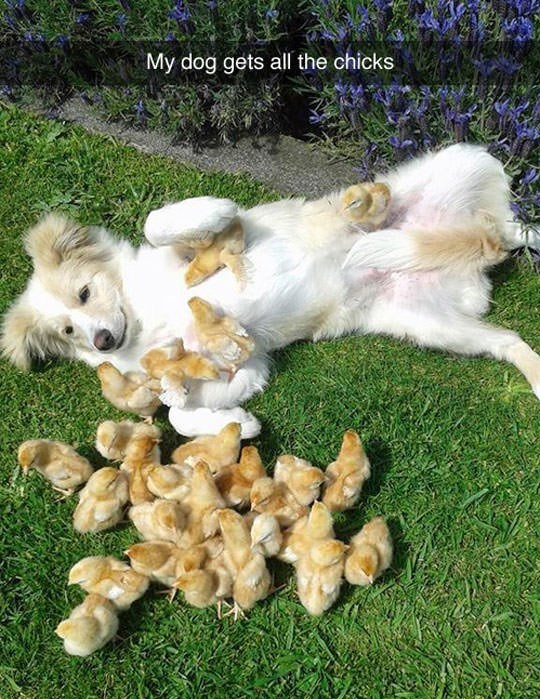 "snapchat saying ""my dog gets all the chicks"" with picture of dog rolling around with baby chickens"