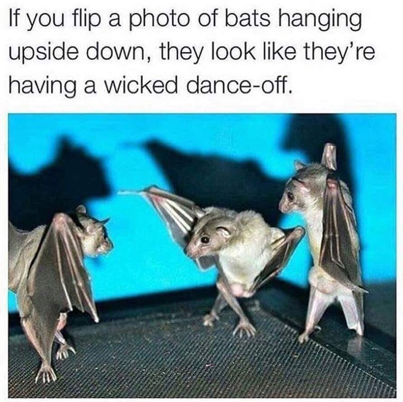 Meme about upside down bats looking like they're dancing
