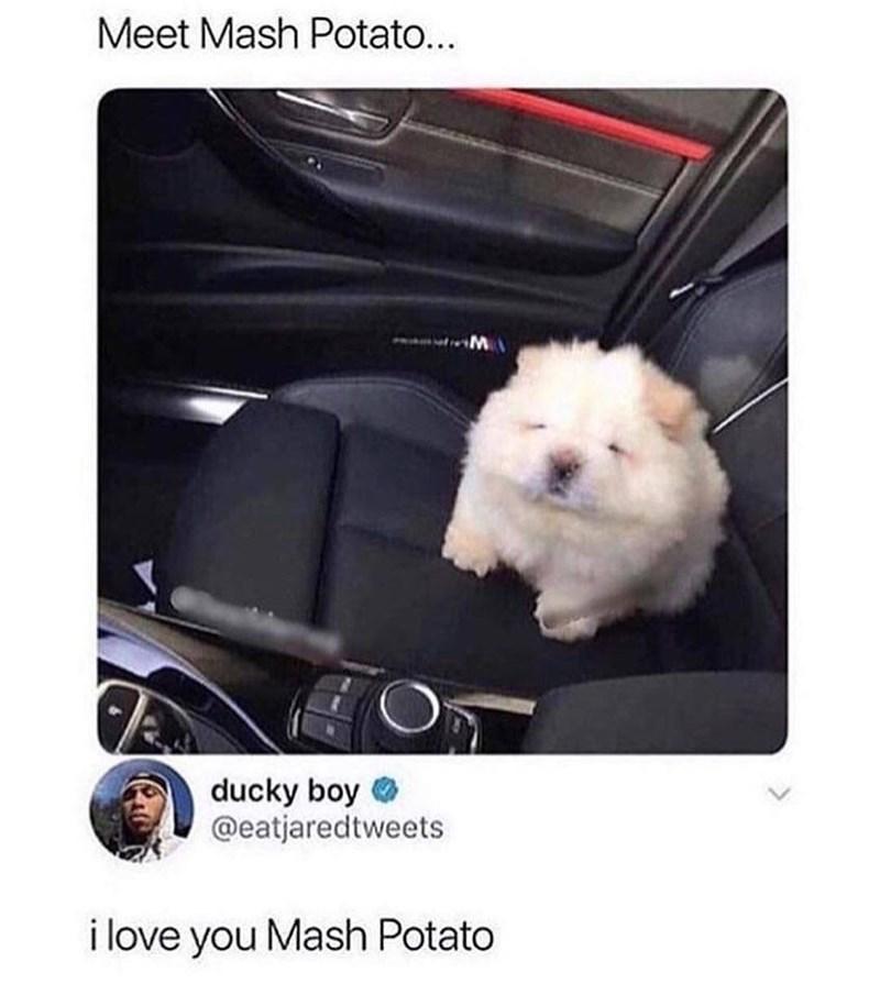 Pic of tiny furry dog named Mash Potato