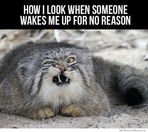 Cat - HOW I LOOK WHEN SOMEONE WAKES ME UP FOR NO REASON WeKnowMemes
