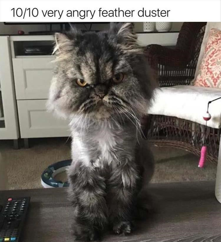 Cat - 10/10 very angry feather duster