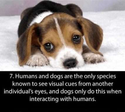 Dog - 7. Humans and dogs are the only species known to see visual cues from another individual's eyes, and dogs only do this when interacting with humans.