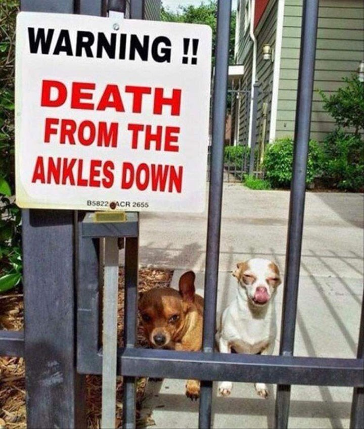 """dog meme of chihuahuas next to a sign that says """"death from the ankles down"""""""