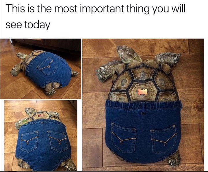 meme image of a tortoise wearing a pair of jeans