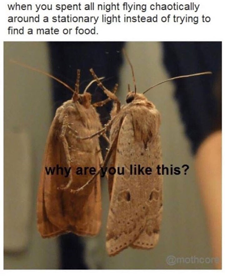 moth meme about chasing after a light all night instead of finding a mate or food