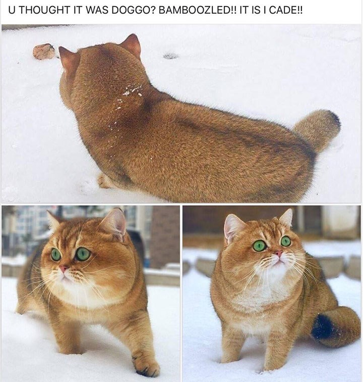 meme image of a cat that looks like a dog from behind