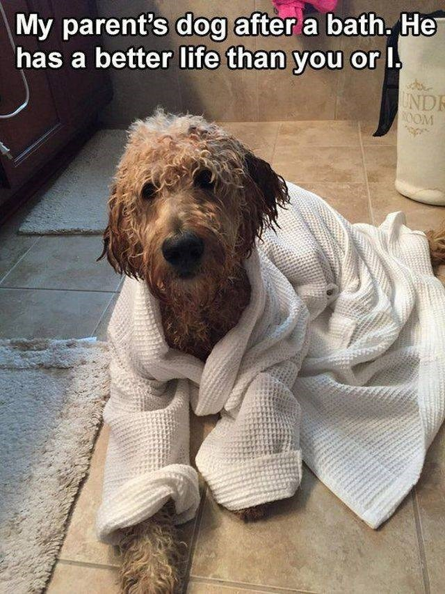 Dog - My parent's dog after a bath. He has a better life than you or I UNDE