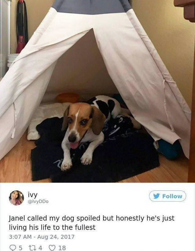 Canidae - ivy @lvyDDo Follow Janel called my dog spoiled but honestly he's just living his life to the fullest 3:07 AM Aug 24, 2017 5 t4 18