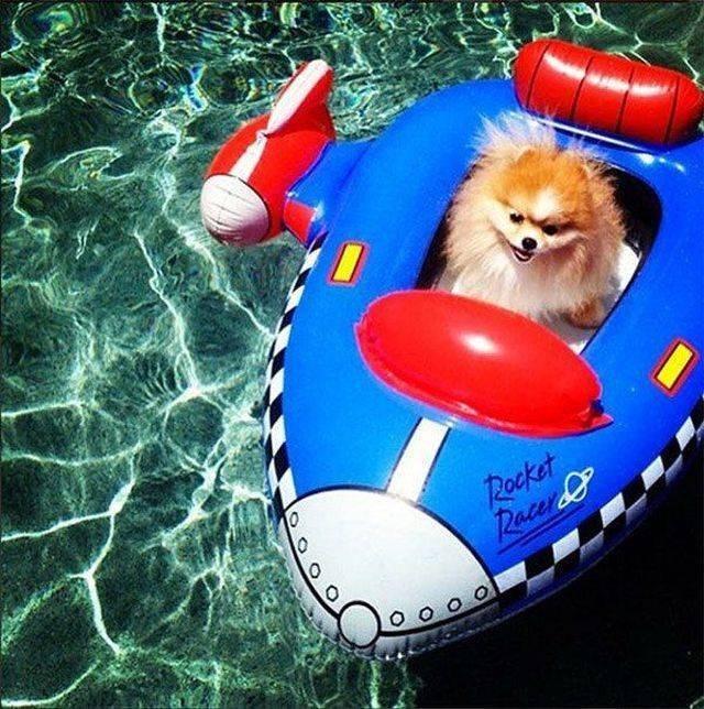 Pomeranian - Rocket Racer