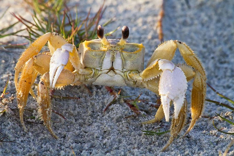scientists have just found out that ghost crabs growl when threatened