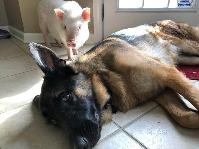 picture of piglet sneaking up on dog lying down