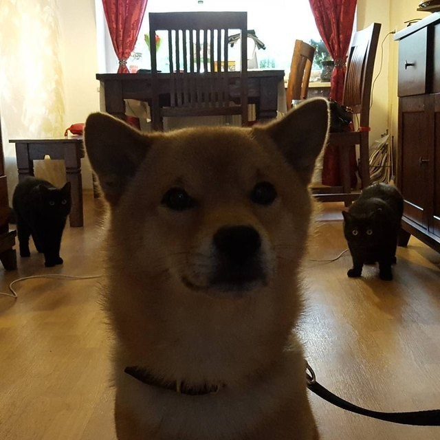 picture of Shiba Inu dog about to be jumped by two black cats