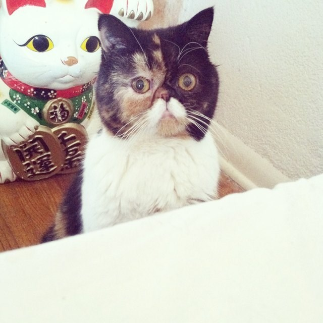picture of cat sitting in front of Chinese Lucky Cat figurine