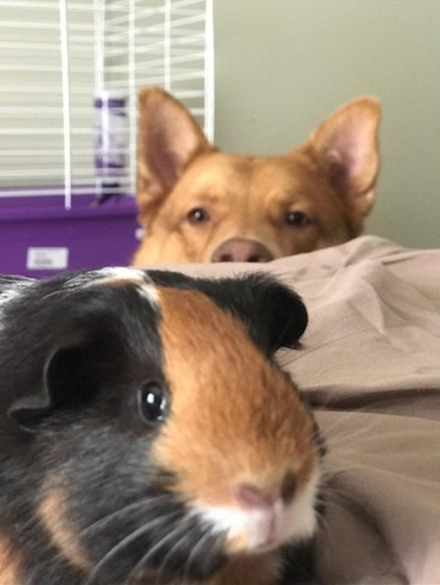 picture of dog peeking over side of bed to look at guinea pig
