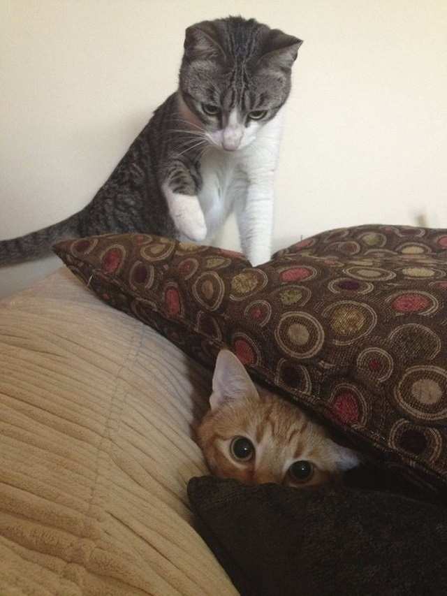 picture of cat peeking at camera from between pillows with second cat looking ready to pounce the first