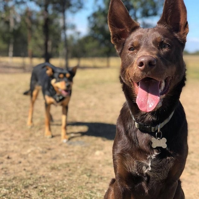 picture of dog with its tongue out looking at the camera with another dog standing in the background