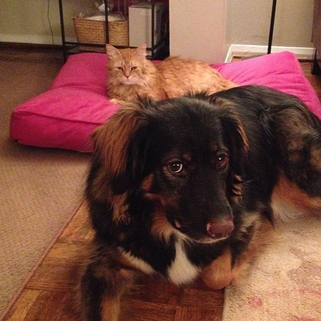 picture of dog looking at camera with angry looking cat sitting on pillow behind it