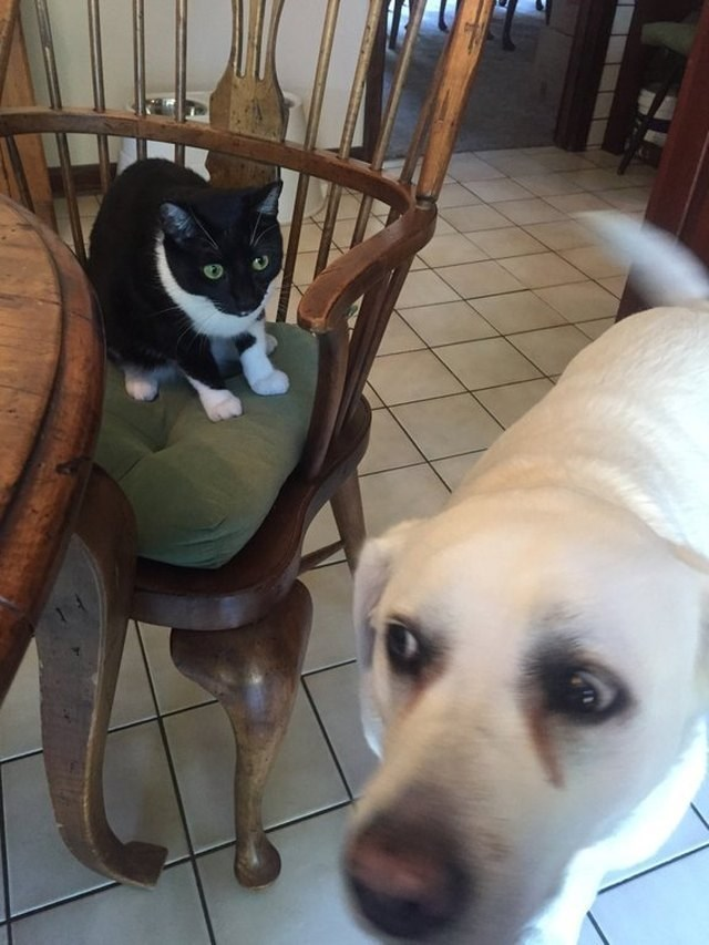 picture of dog looking suspiciously to the side and cat sitting on chair right behind it