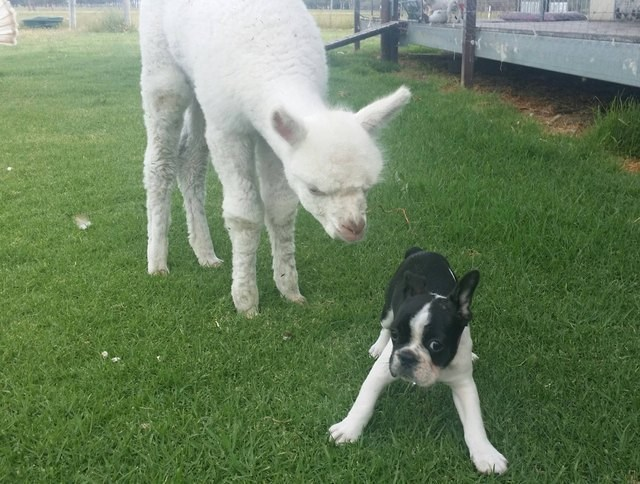 picture of dog looking frightened with lamb standing right behind it
