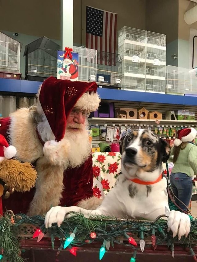 dog staring suspiciously at camera and man in Santa Claus costume standing behind it
