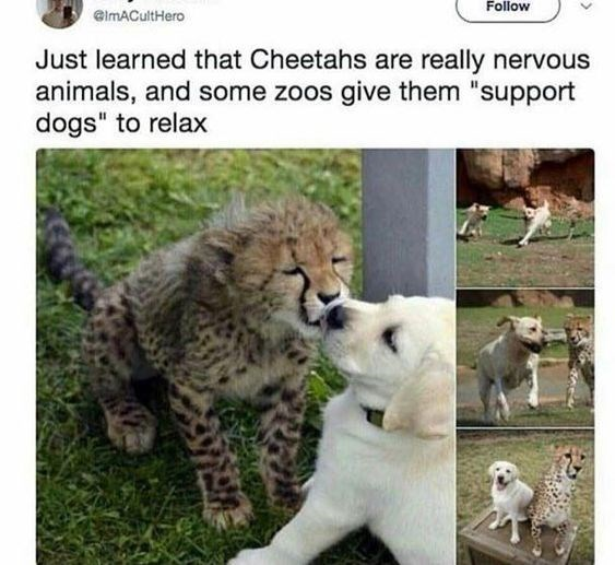 Tweet about finding out cheetahs in zoos get emotional support dogs