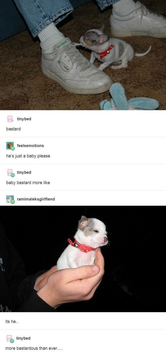 Tumblr thread calling very small dog a bastard