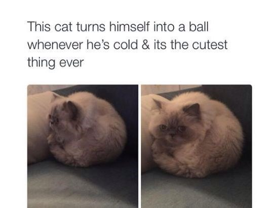 pictures of fluffy cat who curls into himself and becomes ball shaped