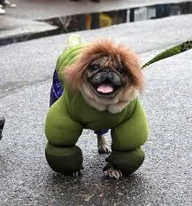 small dog dressed in lumpy The Incredible Hulk green suit