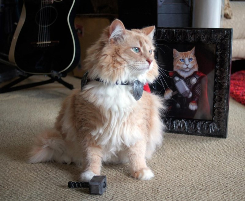 cat in metallic collar holding tiny hammer under its paw next to picture of Thor as a cat