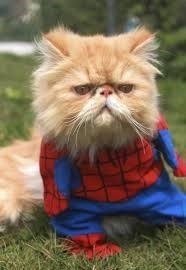 mean looking cat wearing Spider Man suit