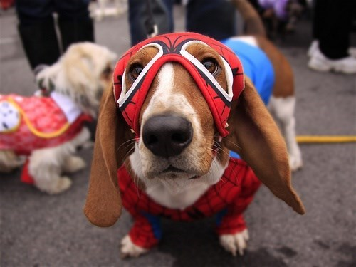 dog wearing Spider Man face mask and suit