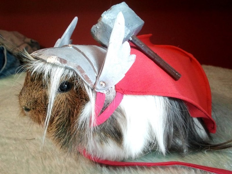 guinea pig dressed as Thor wearing cape and winged helmet and carrying tiny hammer