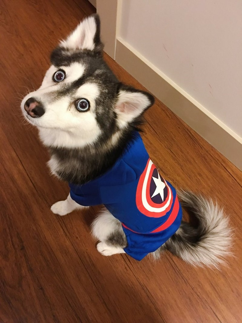 dog wearing blue sweater with the Captain America logo