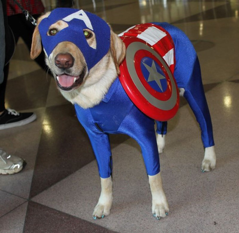 dog dressed as Captain America with full body suit, face mask and Frisbee made to look like a shield