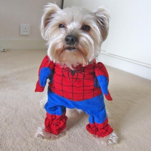 cute dog in full body Spider Man costume