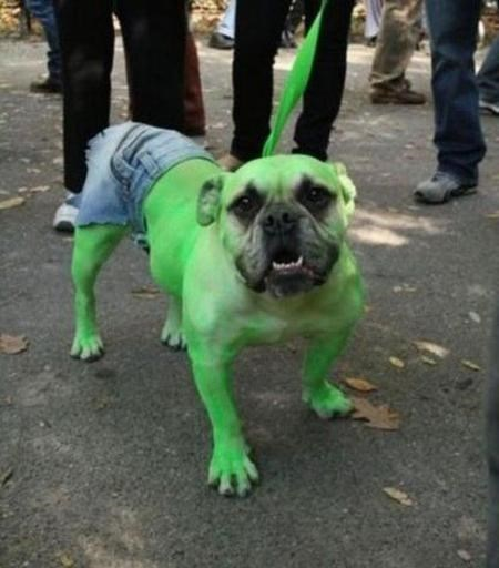 dog painted green and wearing ripped jean shorts on its hind legs to look like The Incredible Hulk