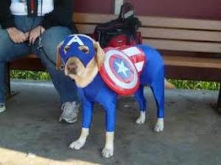 dog dressed as Captain America with fully bodysuit, face mask and Frisbee made to look like a shield