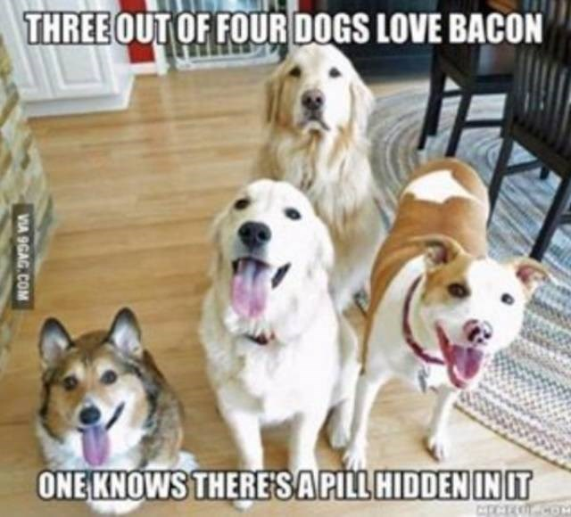 dog meme - Dog - THREE OUT OF FOUR DOGS LOVE BACON ONE KNOWS THERE'S A PILL HIDDEN IN IT VIA 9GAG.COM
