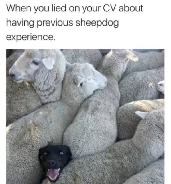 dog meme - Text - When you lied on your CV about having previous sheepdog experience.