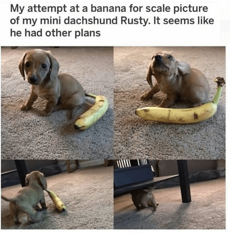 dog meme - Dog - My attempt at a banana for scale picture of my mini dachshund Rusty. It seems like he had other plans
