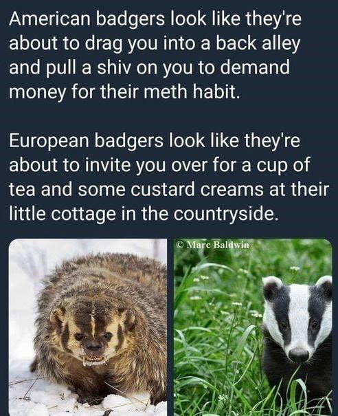 funny badgers - 9237161472
