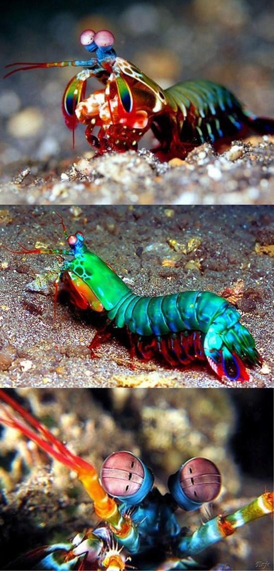 Mantis shrimp - Enje