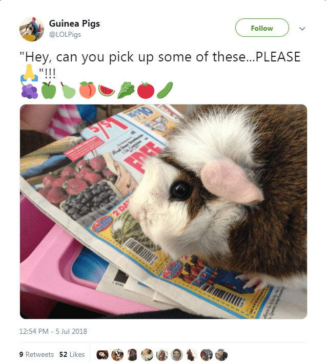 """Guinea pig - Guinea Pigs Follow @LOLPIGS """"Hey, can you pick up some of these...PLEASE """"!!! nt 519 2 DAY NYAL 12:54 PM - 5 Jul 2018 9 Retweets 52 Likes"""
